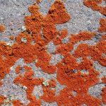 Оранжевая плесень
