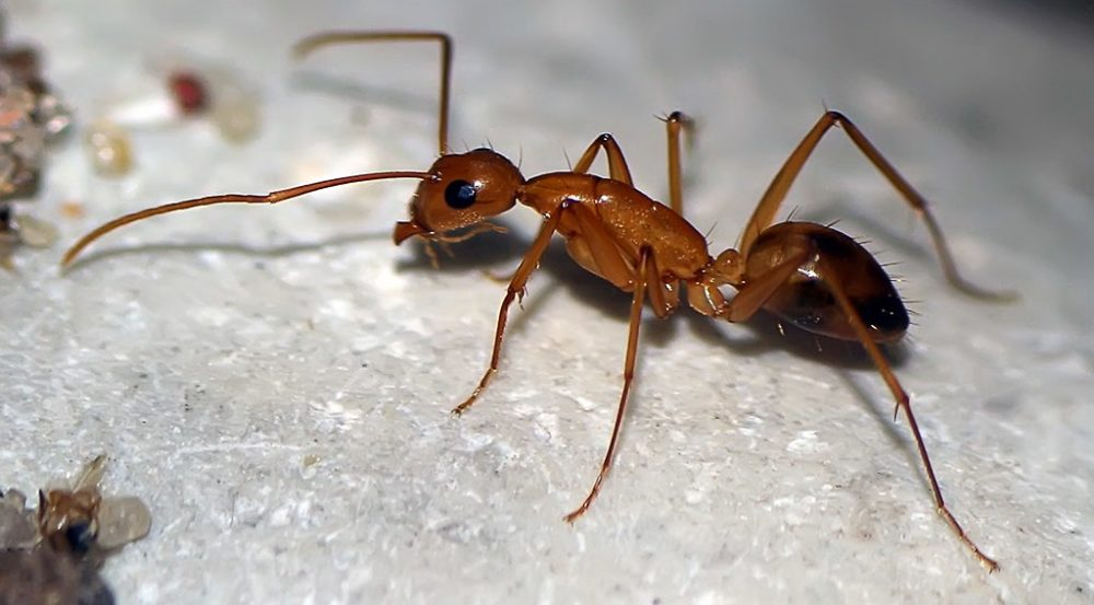 Избавление от муравьев борной кислотой