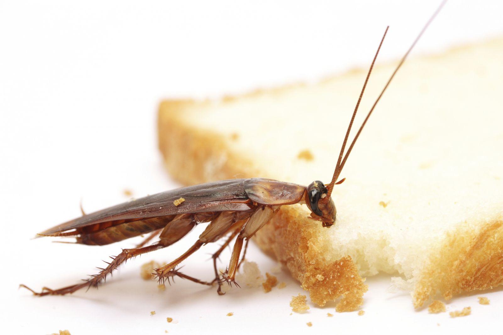 Виды тараканов и их название